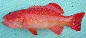 Karena Ngidam, Dapat Kiriman Ikan Kering Sunu dari Mbak Rika